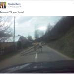 Daca e joi, e Joiana – povestea unei vaci virale.