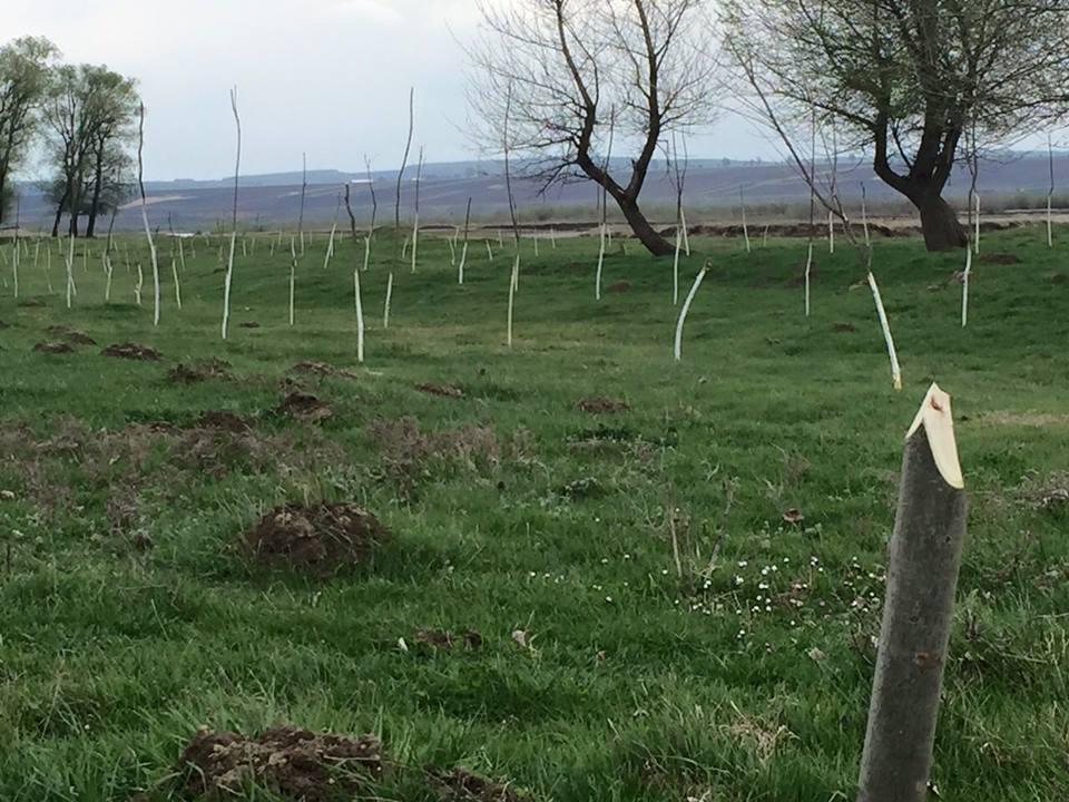 toti copaceii varuiti 1